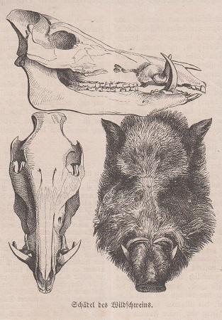 Orig. Holzstich: Schädel des Wildschweins.