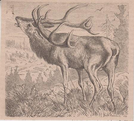 Orig. Holzstich: Hirsch.
