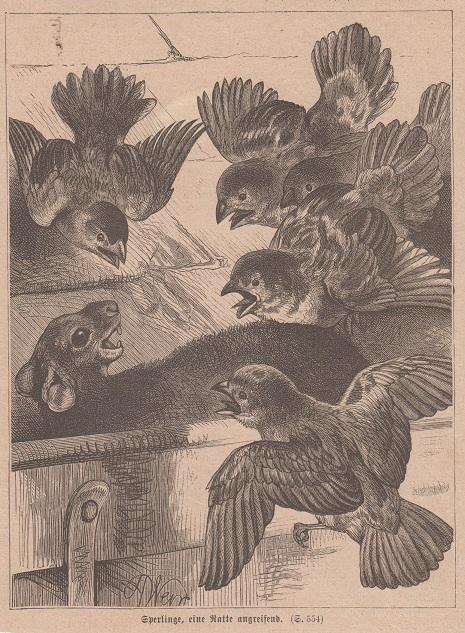 Orig. Holzstich: Sperlinge, eine Ratte angreifend.