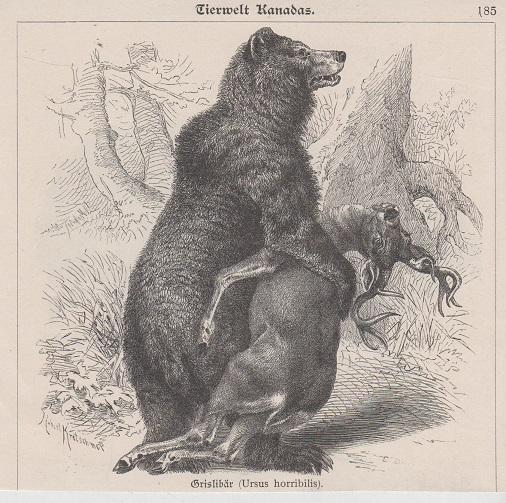 Orig. Holzstich: Tierwelt Kanadas; Grislibär (Ursus horribilis). Robert Kretschmer.