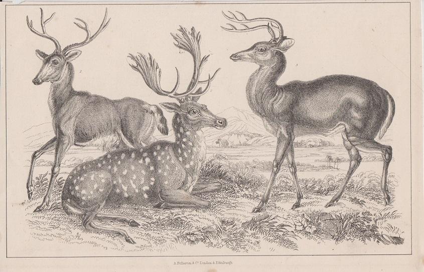 Orig. Holzstich: Rotwild. Hirsche. A. Fullarton & Co. London u. Edinburgh.
