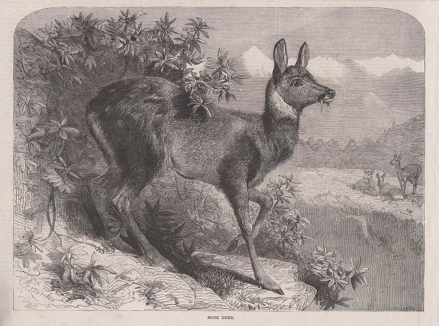 Orig. Holzstich: Musk deer. Pearson.