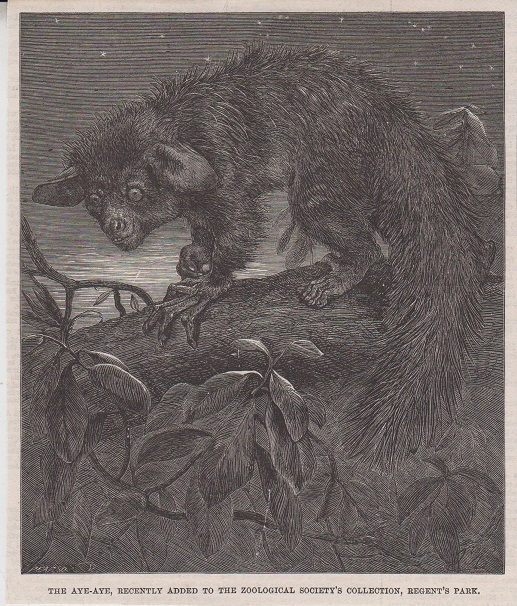 Orig. Holzstich: The Aye-Aye, recently added to the zoological societys collection, regents park.