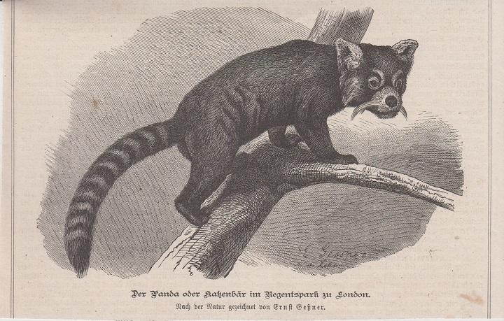 Orig. Holzstich: Der Panda oder Katzenbär im Regentspark zu London. Nach der Natur gezeichnet von Ernst Geßner.