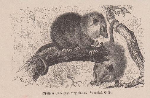 Orig. Holzstich: Opossum. Didelphys virginiana. 1/5 natürl. Größe.