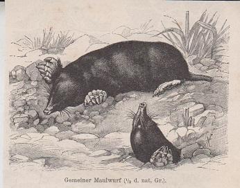 Orig. Holzstich: Gemeiner Maulwurf. !/2 d. nat. Gr.