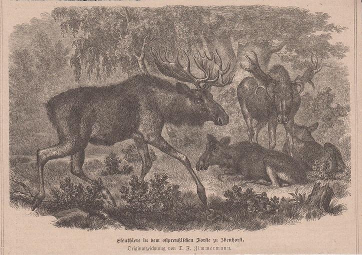 Orig. Holzstich: Elenthiere in den ostpreußischen Forste zu Ibenhorst. Originalzeichnung von T. F. Zimmermann.