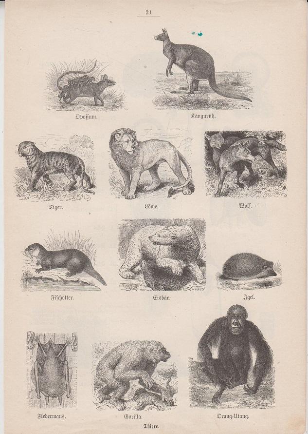 Orig. Holzstich: Thiere. Opossum, Känguruh, Tiger, Löwe, Wolf, Fischotter, Eisbär, Igel, Fledermaus, Gorilla, Orang-Utan.