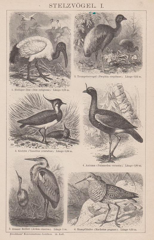 Orig. Holzstich: Stelzvögel I und II. (rückseitig) Brockhaus Konversations-Lexikon, 14. Aufl.