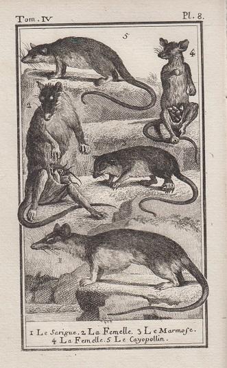 Orig. Kupferstich: Le Sarigue, Le Marmose, Le Cayopollin, Opossum, Pl. 8. Aus einem zoologischen Atlas in französischer Sprache.