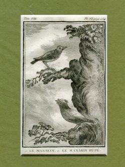 Kupferstich aus Buffon - Naturgeschichte der Vögel - 1. Le Manakin 2. Le Manakin Hupe - Historie Naturelle des Oideaux aus Tom. VIII. Pl. VI. pag.154. Erstauflage, EA