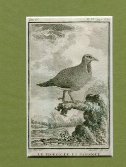 Kupferstich aus Buffon - Naturgeschichte der Vögel - Le Moucherole Savana, Historie Naturelle des Oideaux aus Tom. IV. Pl. XIII. pag.366. Erstauflage, EA
