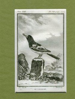 Kupferstich aus Buffon - Naturgeschichte der Vögel - Le Cassican, Historie Naturelle des Oideaux aus Tom. XIII. Pl. VII. pag.200. Erstauflage, EA