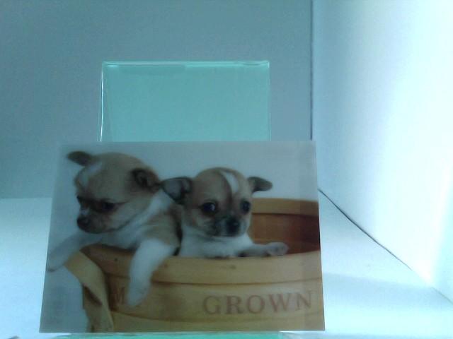 3D Ansichtskarten/Postkarten Chihuahuas