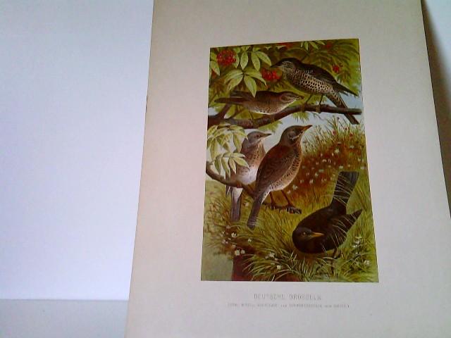 Deutsche Drosseln - (Sing-, Mistel-, Wachholder- und Scharzdrossel oder Amsel) - Chromolithographie aus Brehms Tierleben, Band IV - VI, Vögel