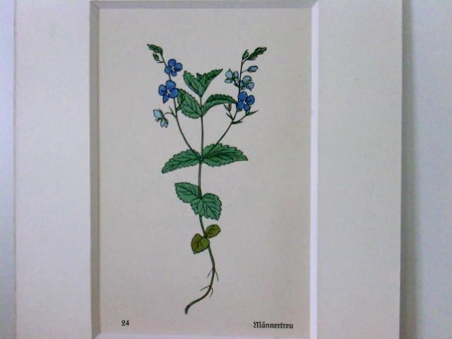 Männertreu, hübsche Darstellung der Pflanze,