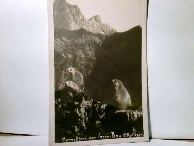 Tierfotografie. Murmeltiere vor ihrem Bau in den Allgäuer Alpen. Alte AK s/w. ungel. ca 1930. Murmeltiere sichernd im Vordergrund, Gebirgsmassive dahinter