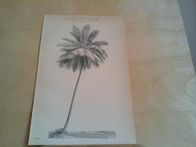 "Grafik - COCOA NUT PALM (Cocos Nucifera). 1 Grafik-Holzschnitt, aus ""The National Encyclopaedia: A Dictionary of Universal. Knowledge"""
