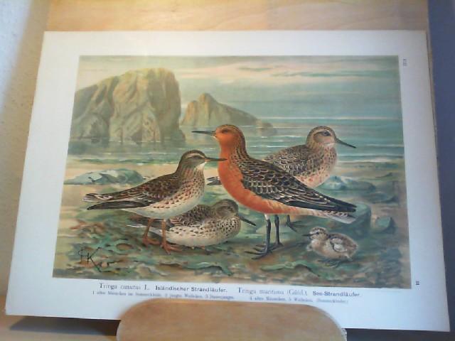 Isländischer Strandläufer. Tringa canutus L. See-Strandläufer. Tringa maritima (Güld.). Farblithographie aus Naumann, J.A. Naturgeschichte der Vögel. 1897-1905. 40 x 28,8 cm.