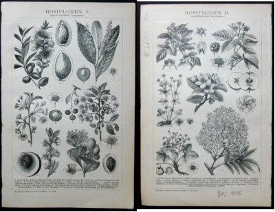 Rosifloren I. und II. Aus: Brockhaus' Konversations-Lexikon. 14. Auflage.
