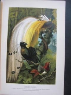 Paradiesvögel. Farblithographie mit drei Vögeln im Dschungel (Göttervogel / Paradisea apoda; Strahlenparadiesvogel / Parotia sexpennis; Königsparadiesvogel / Cicinnurus regius) Farblithographie. Format ca. 16 x 24 cm.