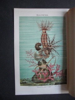 Grossflosser (Paradiesfisch). Chromolithografie, ca. 1890. Einzelblatt - 24 x 15,5 cm; Bildgrösse 20,5 x 13 cm.
