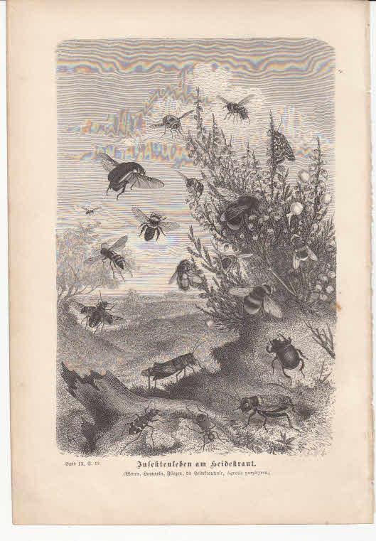 Holzschnitt - Insektenleben am Heidekraut - Original - 1877 Holzschnitt aus Brehms Tierleben, Band 9